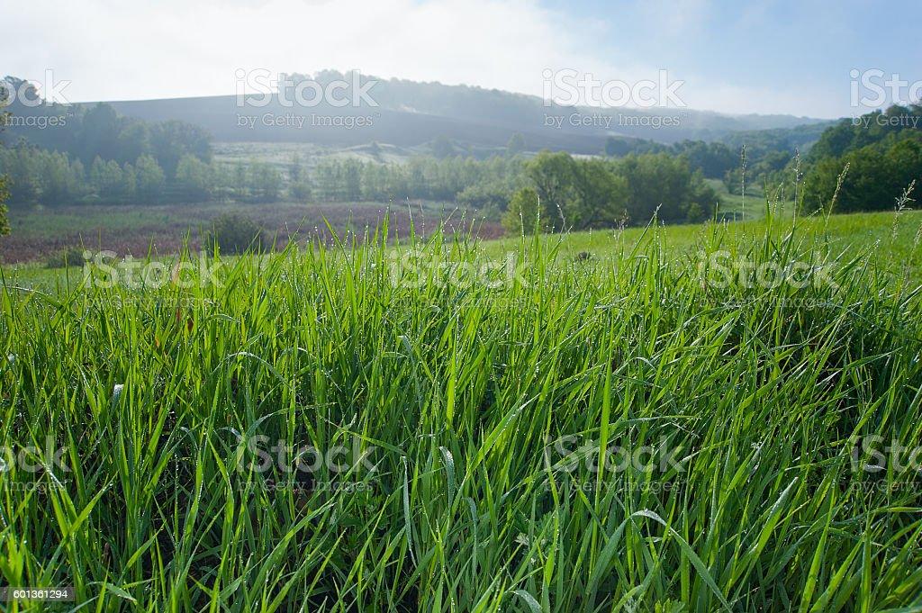 Morgentau auf dem Rasen  Lizenzfreies stock-foto