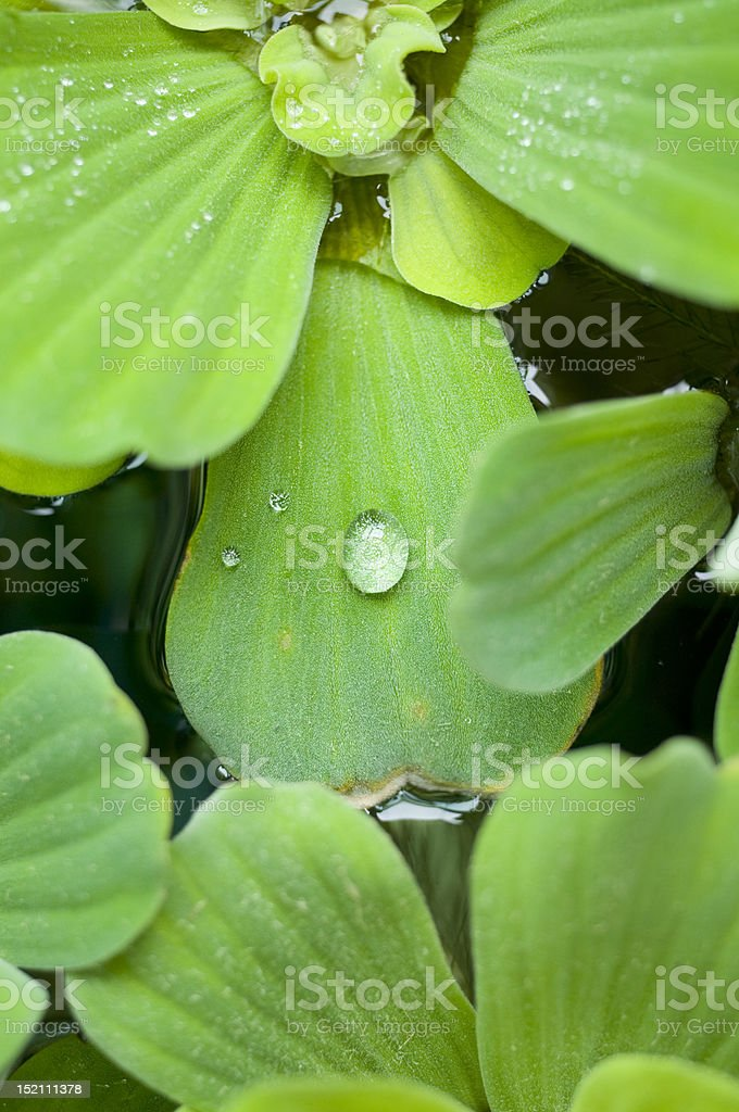 Morning Dew on Water Lettuce royalty-free stock photo
