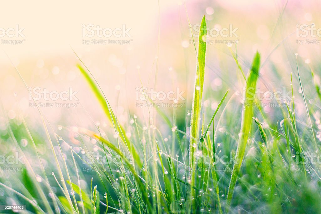 Morning dew royalty-free stock photo