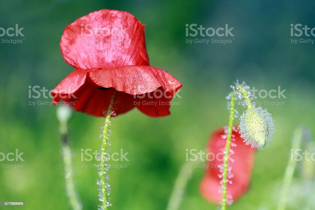 morning dew poppy stock photo