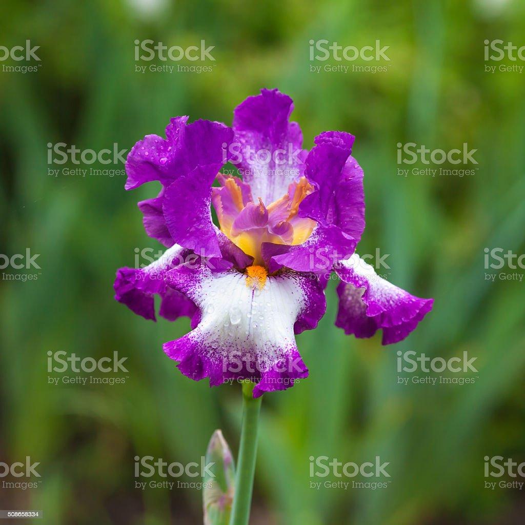 morning flower iris park stock photo