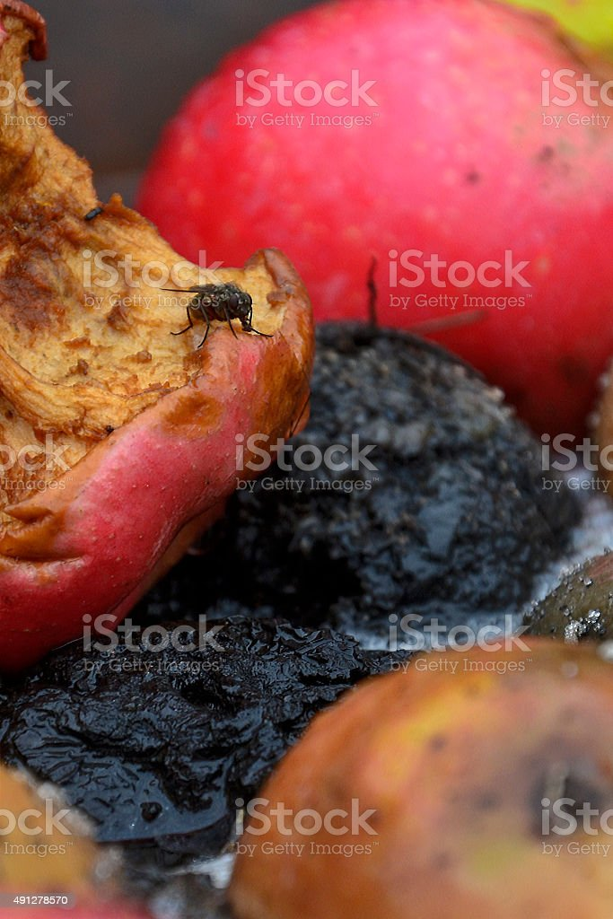 Morning fly at the apples stock photo