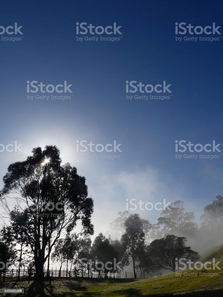 morning foggy gumtrees stock photo