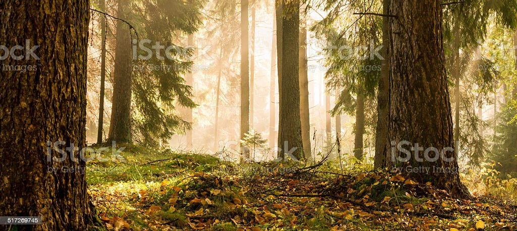 Morning Forest Light stock photo