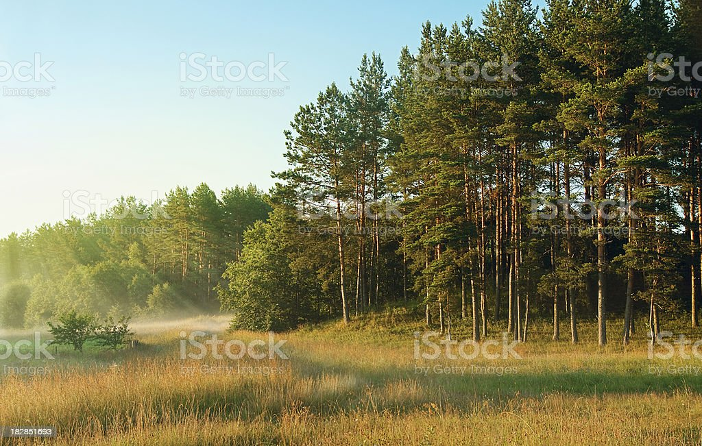 Morning forest stock photo