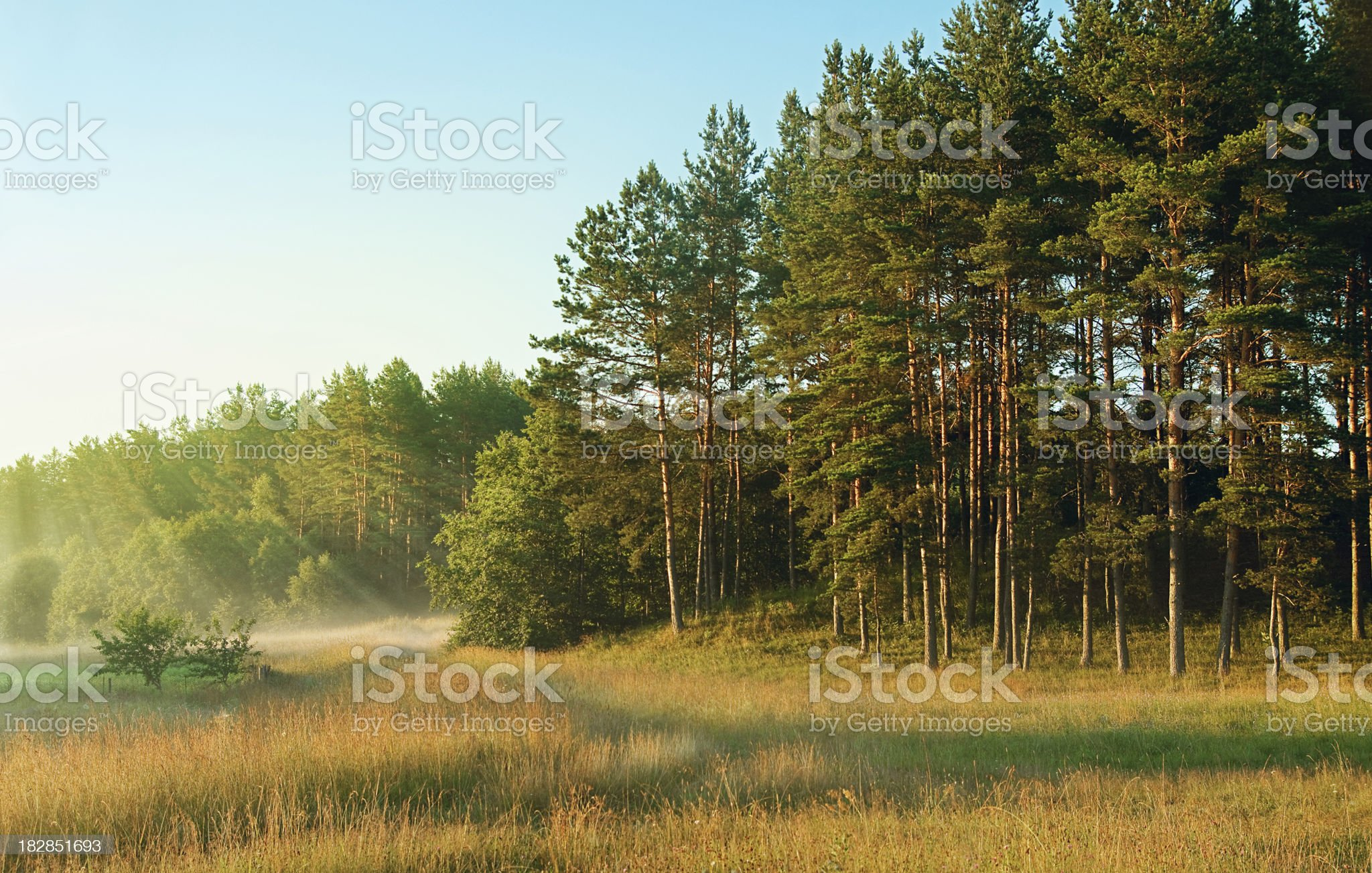 Morning forest royalty-free stock photo