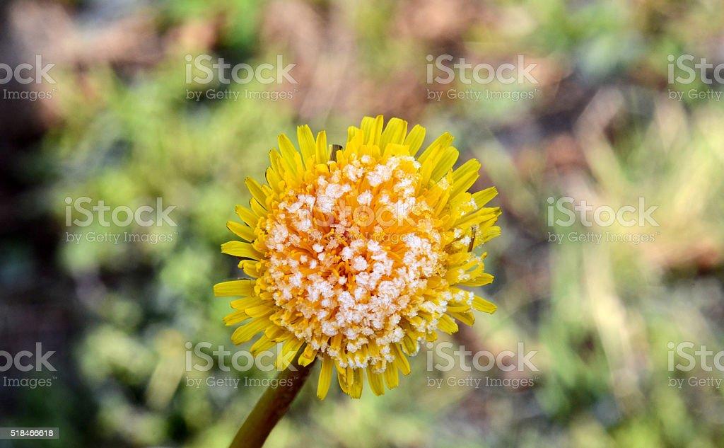 morning frost on a dandelion flower stock photo