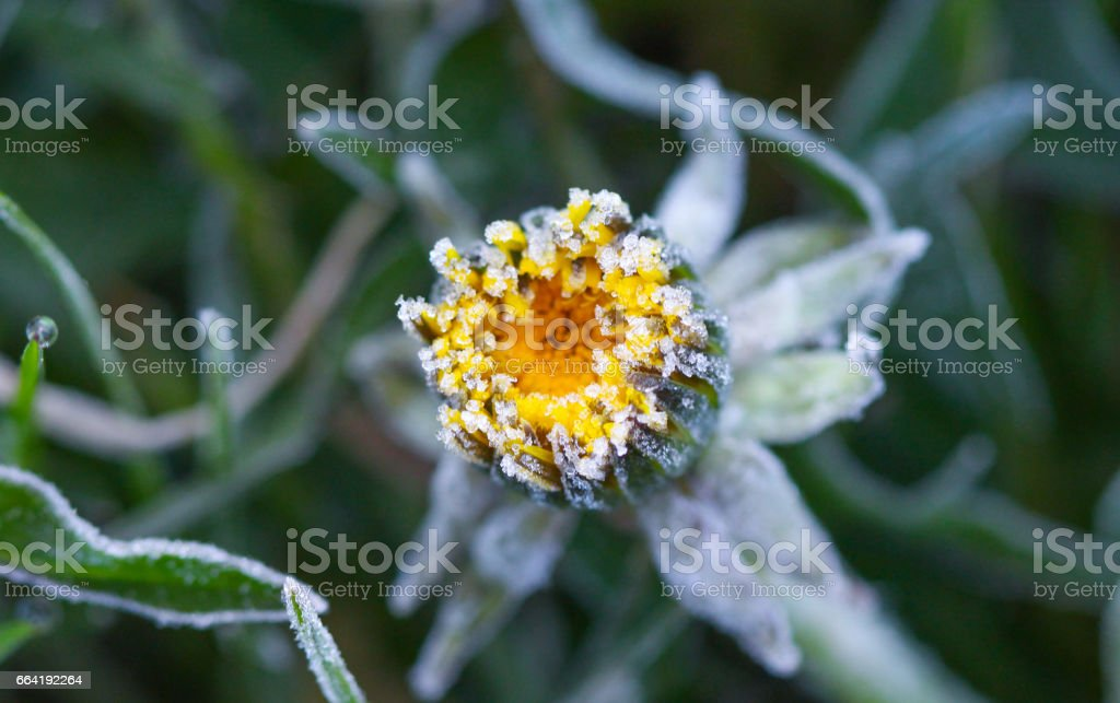 morning frost on a dandelion stock photo