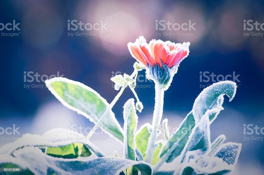 Morning frost on Pot Marigold flower in late fall stock photo