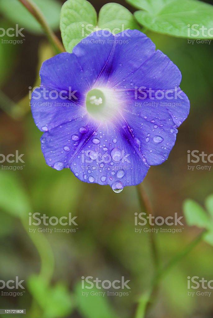 Morning Glory Dew stock photo