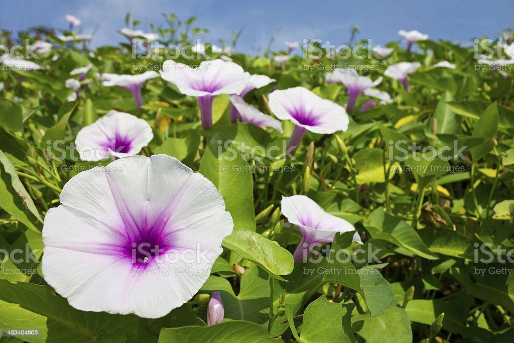 Morning glory flower. stock photo