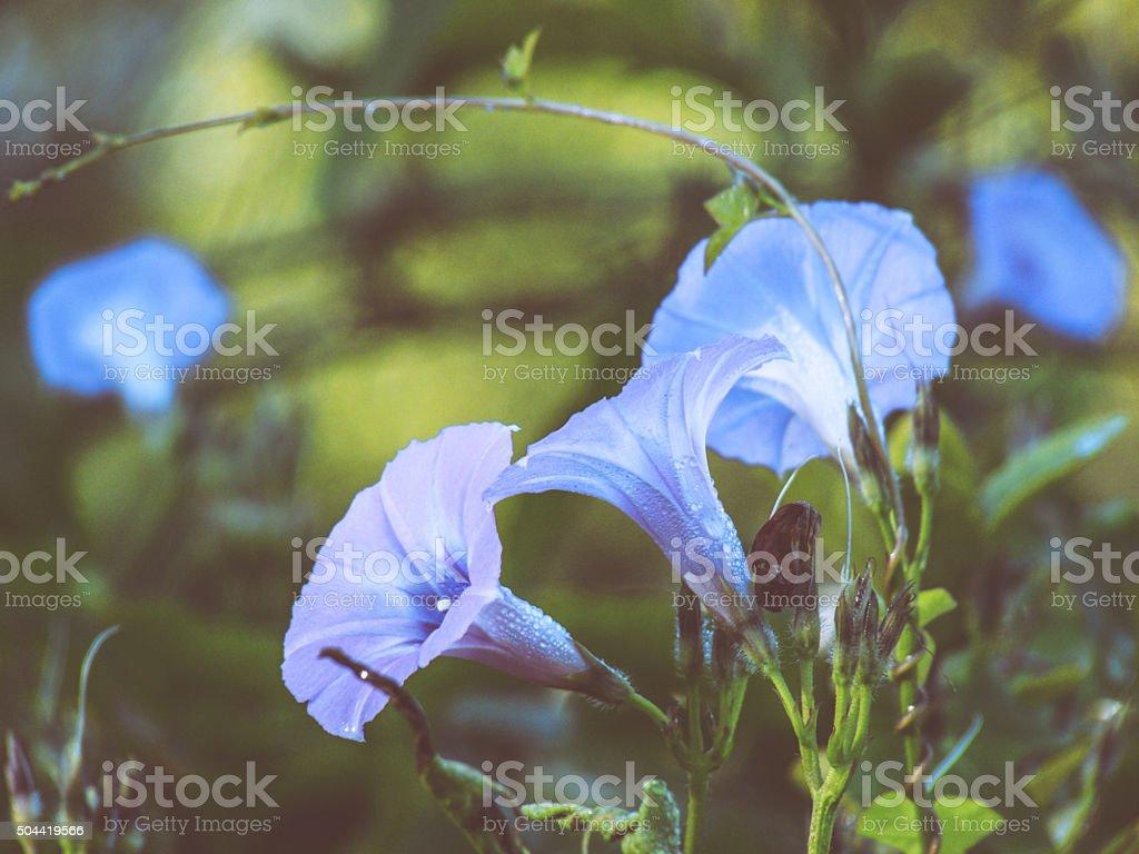 Morning Glory Flowers Blue Lavender Periwinkle Dew Vine stock photo