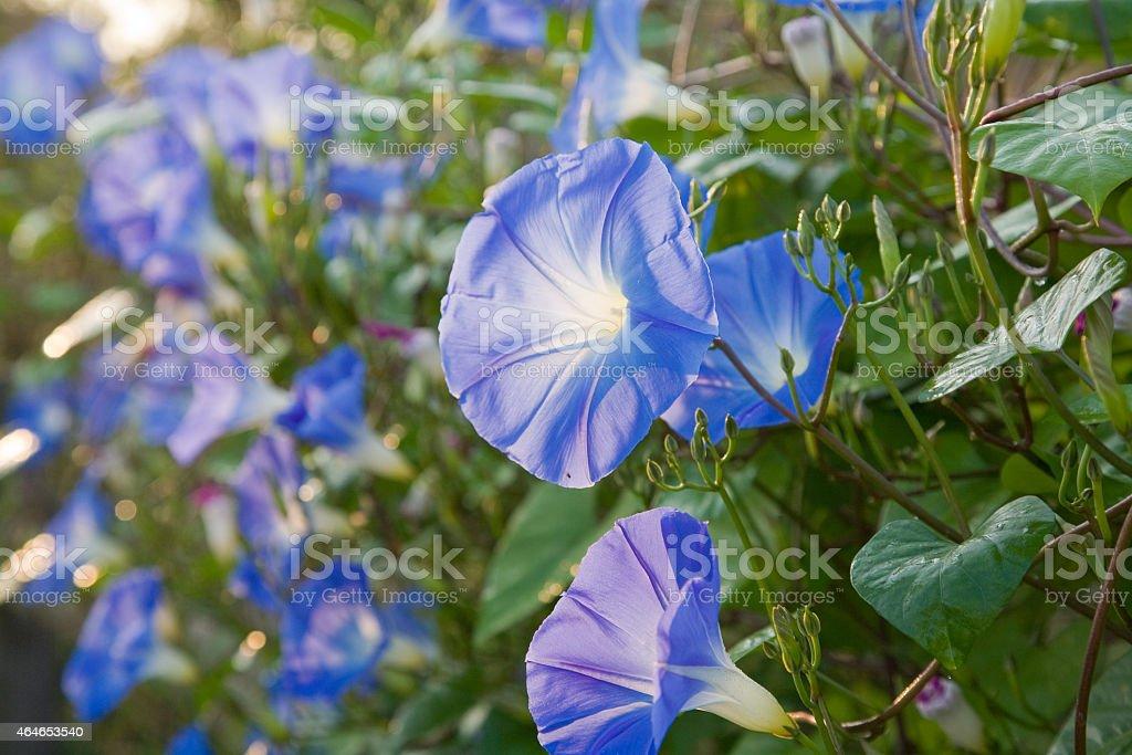 Morning Glory Flowers stock photo