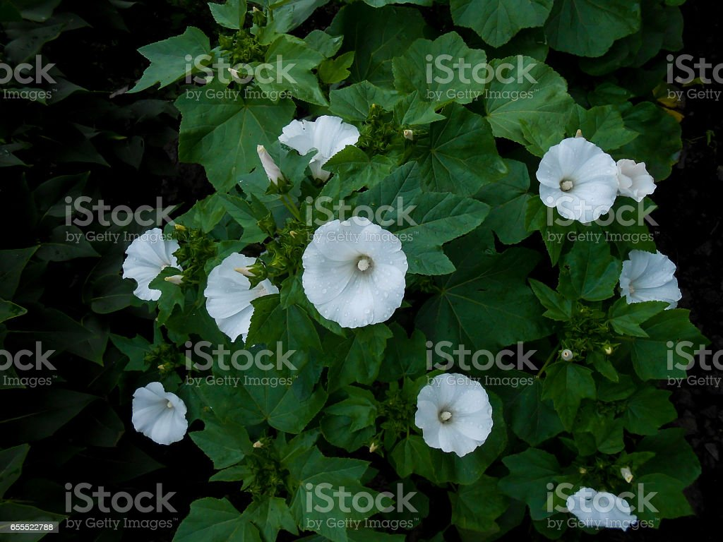 morning glory fresh flower in nature stock photo