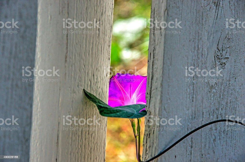Morning glory растет через забор Стоковые фото Стоковая фотография