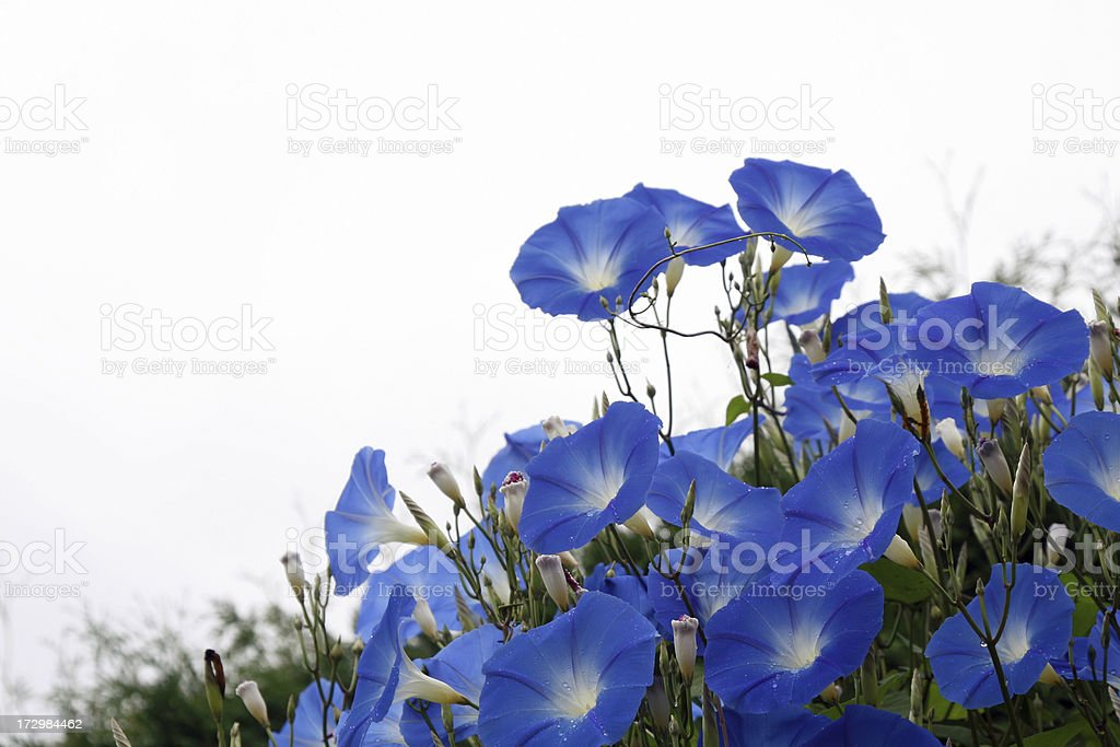 Morning glory, Ipomoea tricolor Heavenly Blue stock photo