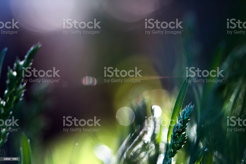 Morning grass with dew mystical background with rainbow bokeh stock photo