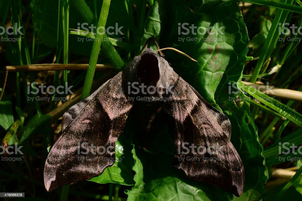 morning hiding in the grass Butterfly smerinthus ocellatus stock photo
