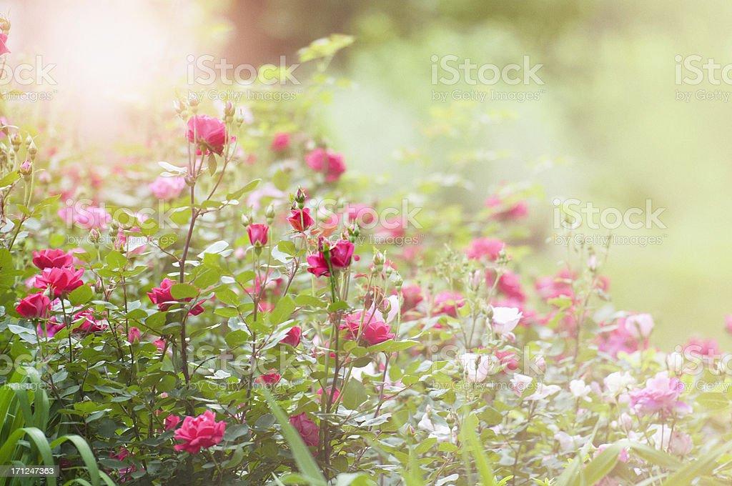 Morning in the rose garden stock photo
