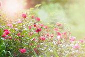 Morning in the rose garden