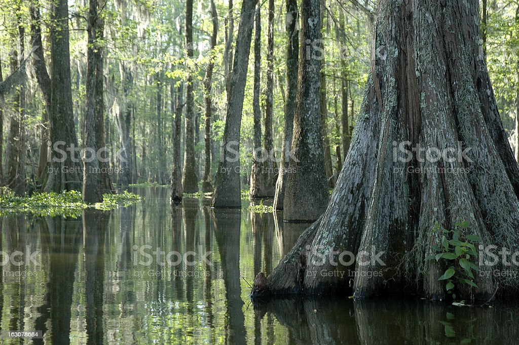Morning In The Swamp stock photo
