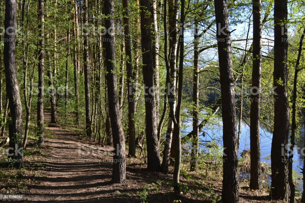Morning landscape. Pines on the river bank. Russia stock photo