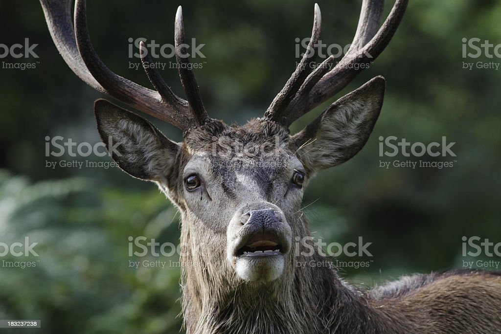 Flehmen and front head shot of rutting red deer stag stock photo
