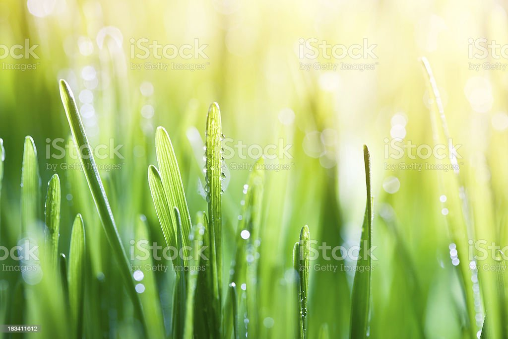 Morning light on blades of grass. royalty-free stock photo