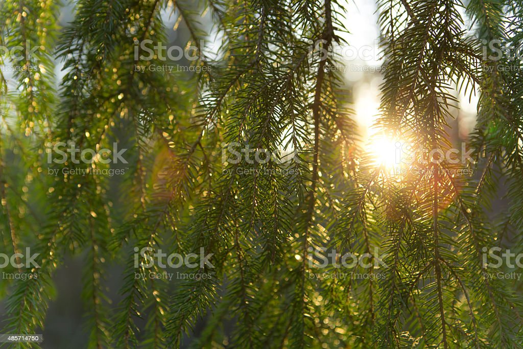 morning light rays trough branches stock photo