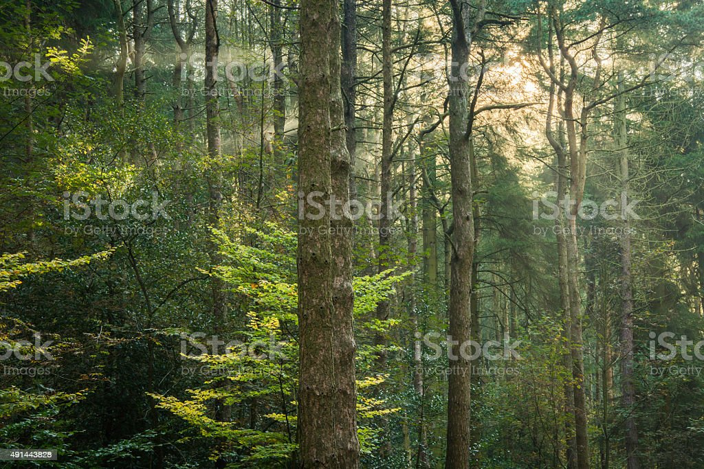 Morning Light Shining Into Green Woodland Forest. stock photo