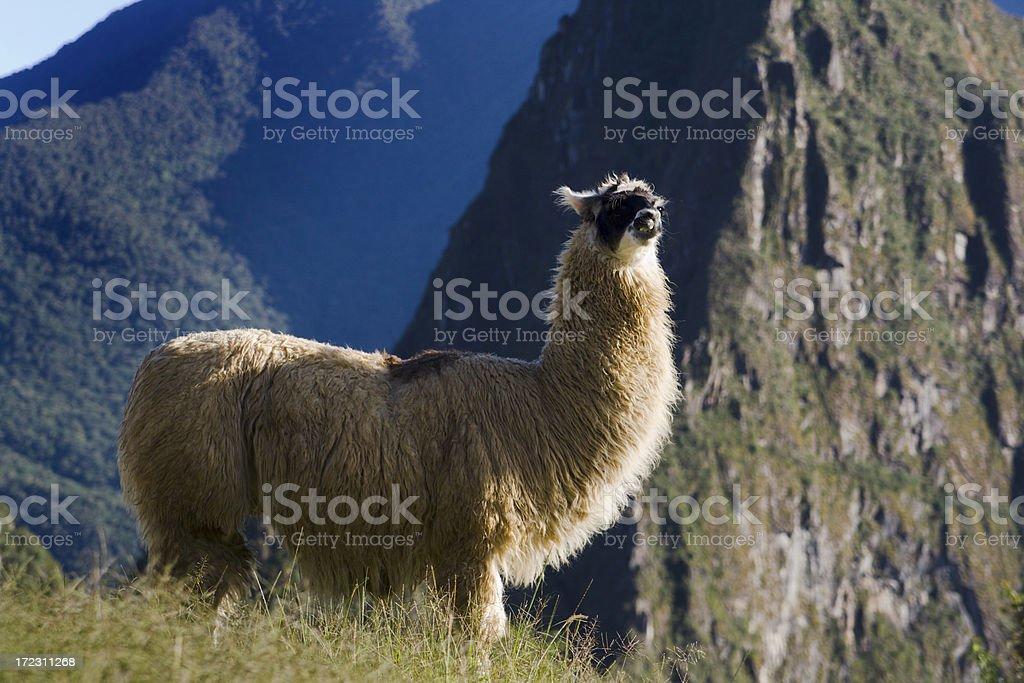Morning Llama in Machu Picchu royalty-free stock photo