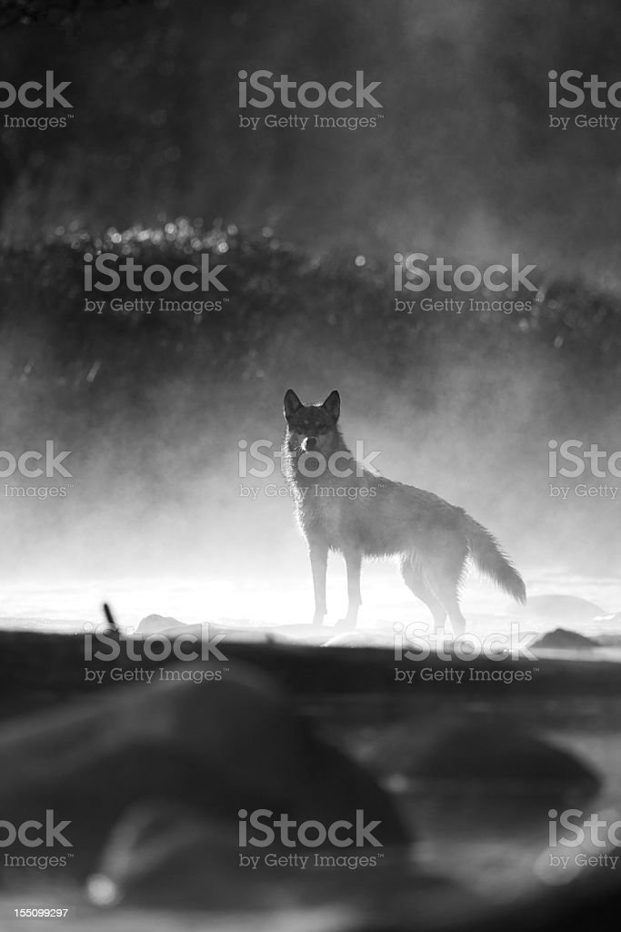 Morning mist and gray wolf. stock photo