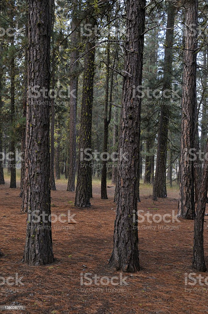 Morning Pine Trees royalty-free stock photo