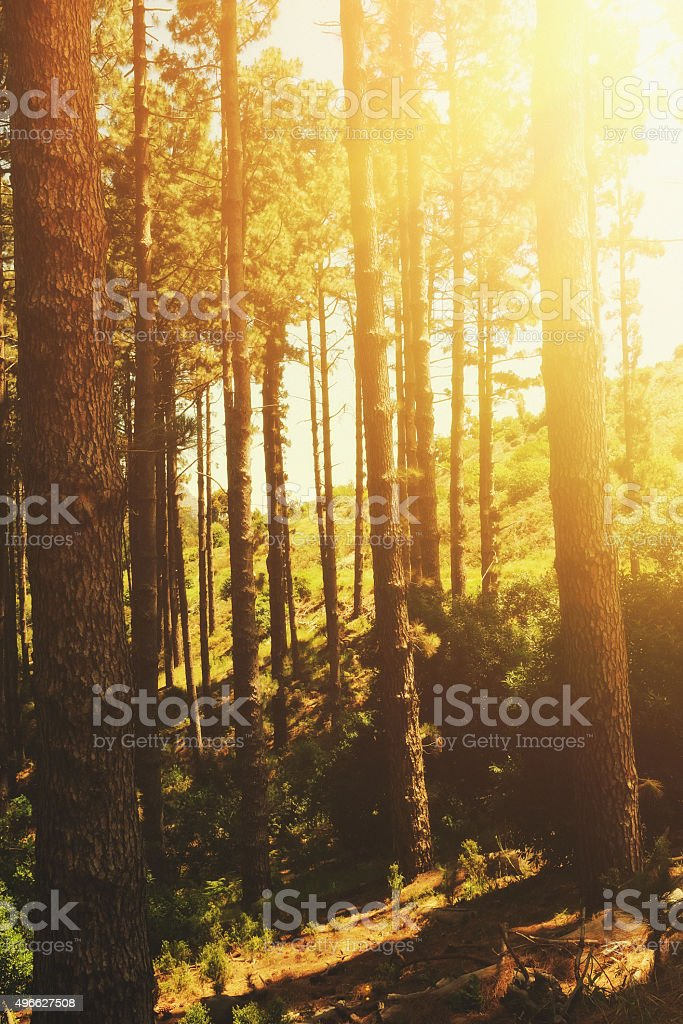 Morning sun filtering through pine trees. Nature background. stock photo