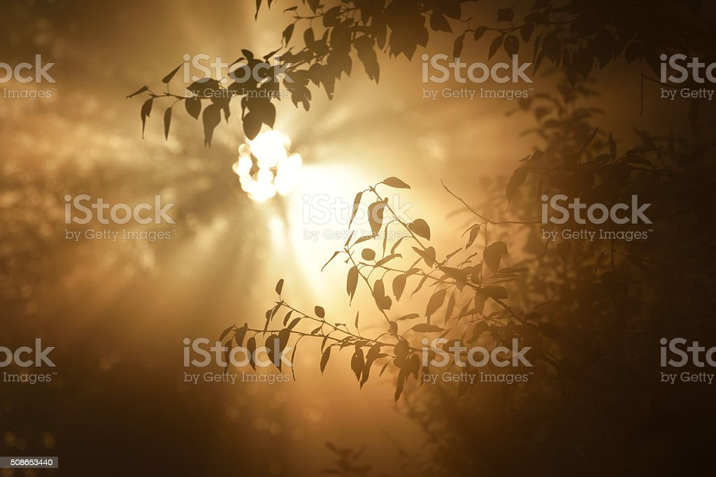 Morning sun in the tree foliage in strong fog stock photo