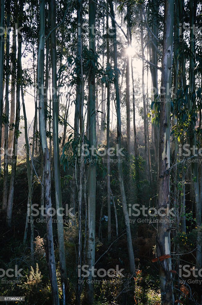 Morning Sun in the Woods stock photo