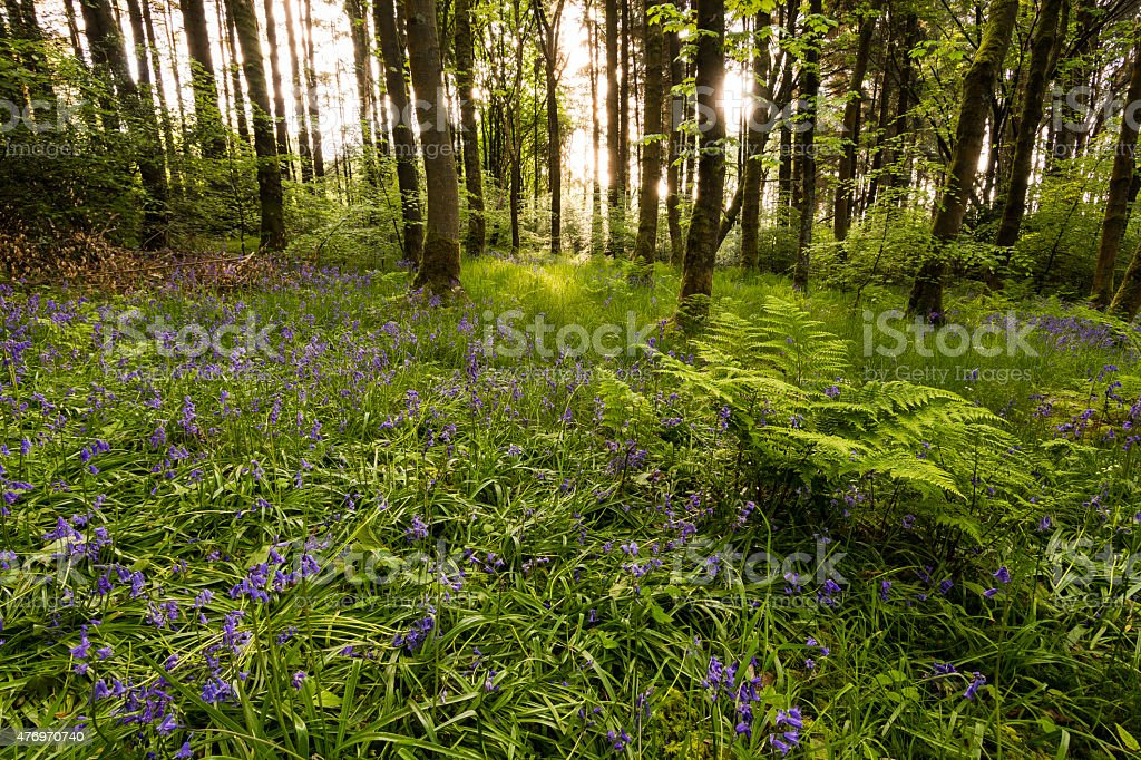 Morning Sun Light Shining In The Bluebell Forest. stock photo
