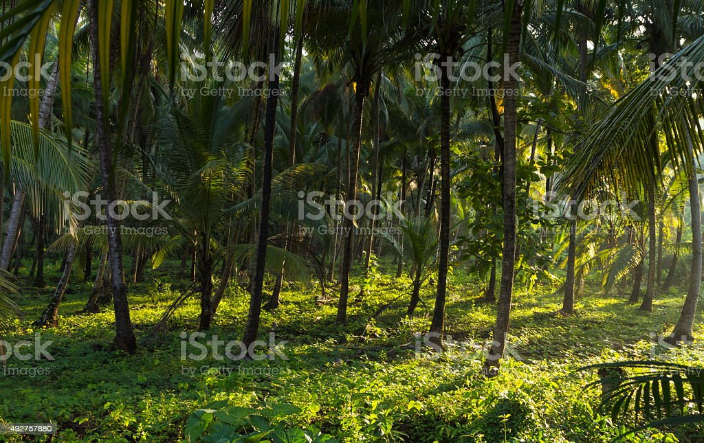 Morning sun on coconut plantation, Goa, India stock photo