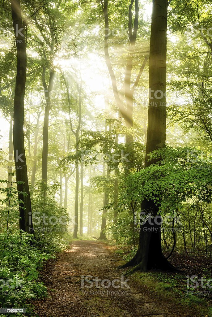 Morning sun shining into the foggy forest stock photo