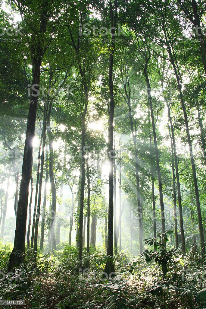 Morning Sunlight Inside a Green Forest stock photo