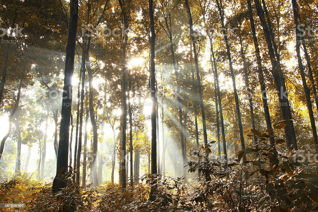 Morning Sunlight Inside a Yellow Forest stock photo