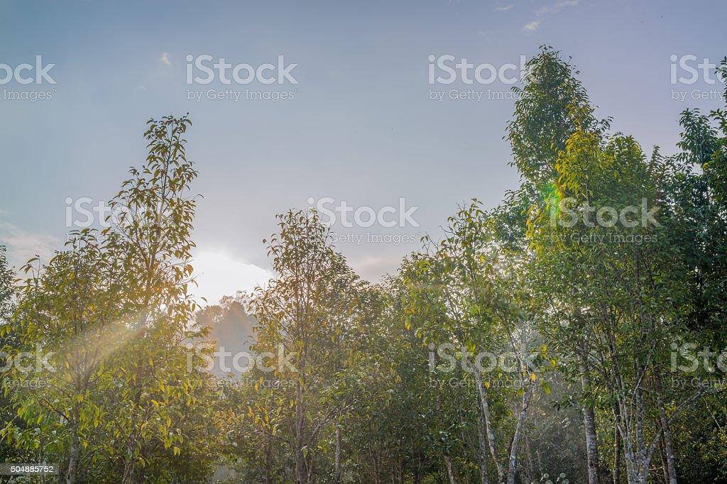 Lumière du matin sur la cime des arbres dans la forêt. photo libre de droits