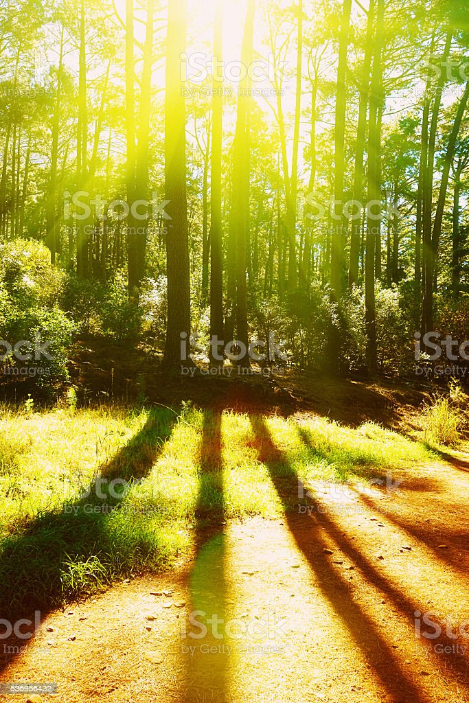 Morning sunlight shining through forest pine trees creates stripy shadows stock photo