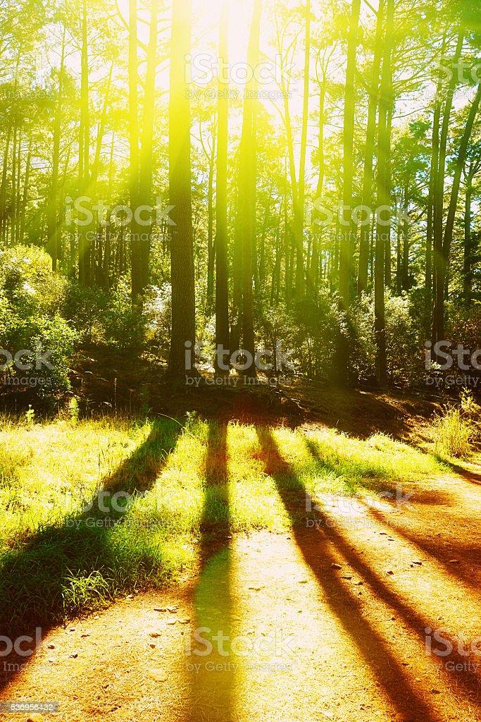 Morning sunlight shining through forest pine trees creates stripy shadows stock photo