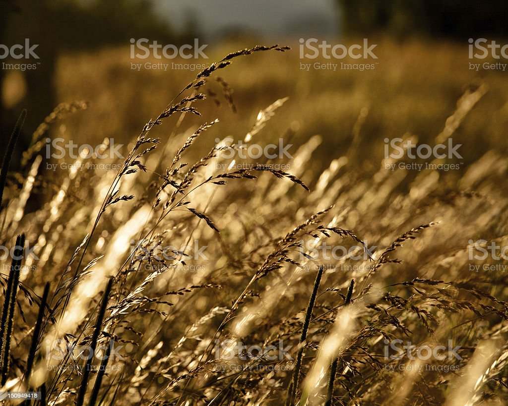 Morning sunrise cast a golden hue of light on grass royalty-free stock photo