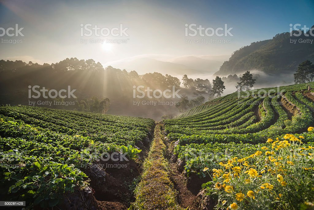 Morning sunrise in strawberry field, chiangmai thailand stock photo