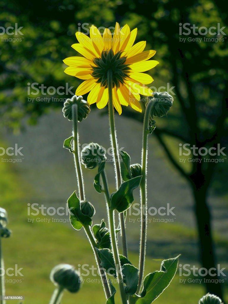 Morning Sunshine on Sunflowers stock photo