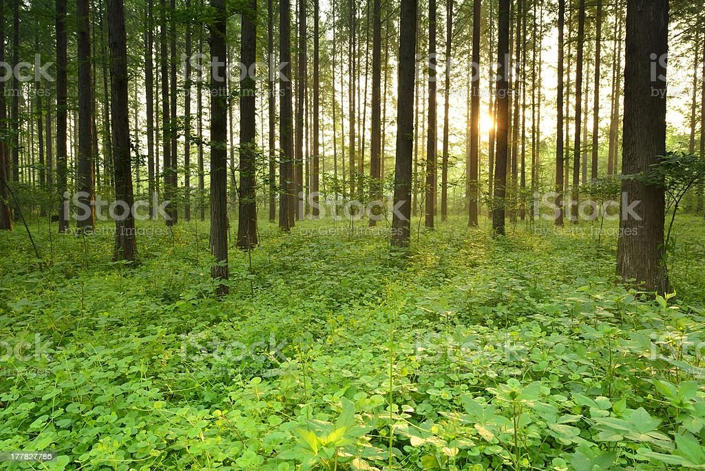Morning, the beautiful forest scenery royalty-free stock photo