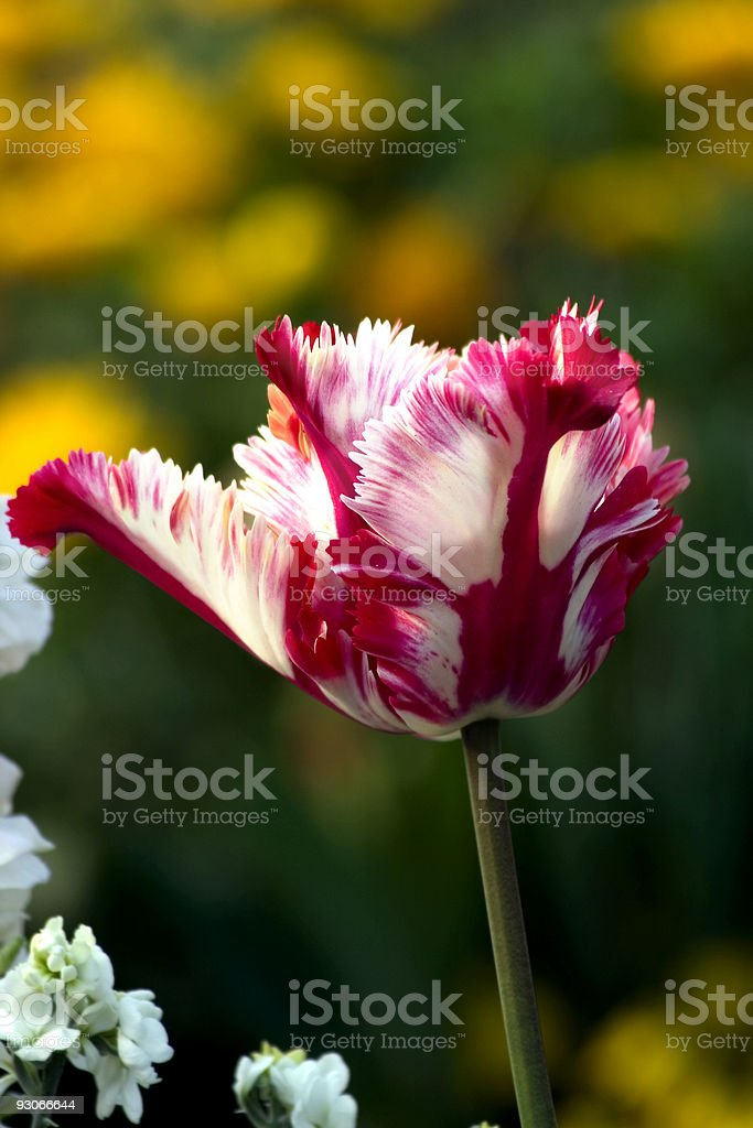 Morning tulip stock photo