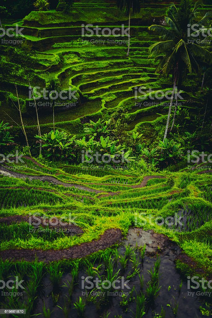 Morning View of Rice Terrace During the Sunrise stock photo
